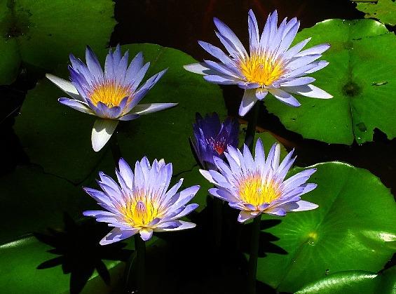 Buy Blue Lotus Herb Stomp