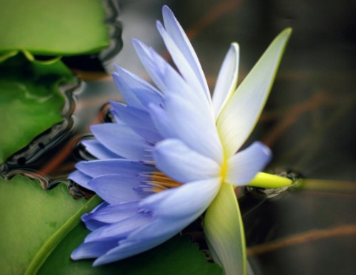 Buy Blue Lotus Herb Stomp